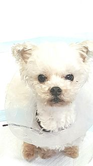 Maltese Mix Dog for adoption in Covina, California - Sammy