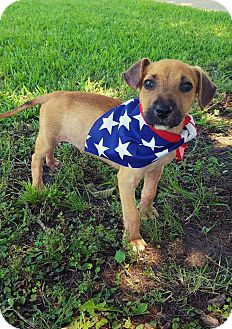 Black Mouth Cur/Hound (Unknown Type) Mix Puppy for adoption in Madisonville, Texas - Benny