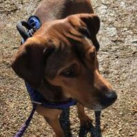 Adopt A Pet :: Dublin - justin, TX