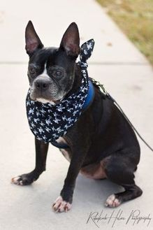 Boston Terrier Mix Dog for adoption in Greensboro, North Carolina - Available BISHOP