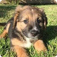 Adopt A Pet :: Tonka von Madison - Thousand Oaks, CA