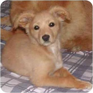 Pomeranian Mix Puppy for adoption in Rolling Hills Estates, California - Kimbra