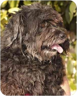Terrier (Unknown Type, Medium)/Cockapoo Mix Dog for adoption in El Segundo, California - Fresco