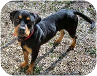 Rottweiler Dog for adoption in Oswego, Illinois - LEO