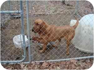 Bloodhound Dog for adoption in Georgetown, Kentucky - Rosie