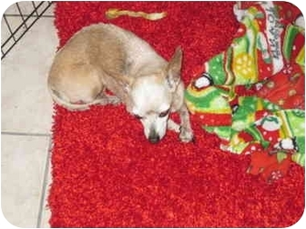 Chihuahua Dog for adoption in Amelia  Island/Clearwater/Jacksonville, Florida - chloe