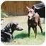 Photo 3 - Doberman Pinscher Dog for adoption in Kingwood, Texas - Sophie