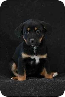 Labrador Retriever/Rottweiler Mix Puppy for adoption in Portland, Oregon - Zoe