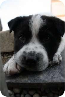 Labrador Retriever/Shepherd (Unknown Type) Mix Puppy for adoption in Okotoks, Alberta - Brooks