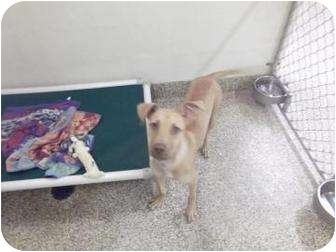 American Pit Bull Terrier Mix Puppy for adoption in North Charleston, South Carolina - Toby