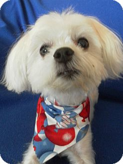 Maltese/Poodle (Miniature) Mix Dog for adoption in Los Angeles, California - Cotton