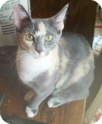 Manx Cat for adoption in Sterling Hgts, Michigan - Rogue
