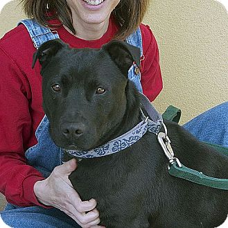 American Pit Bull Terrier Mix Dog for adoption in Berkeley, California - Marley