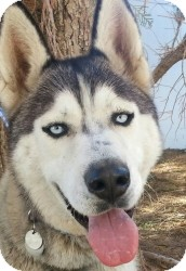 Siberian Husky Dog for adoption in Apple valley, California - Darrick