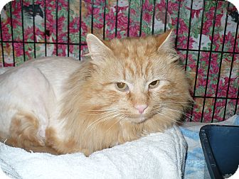 Domestic Longhair Cat for adoption in Colmar, Pennsylvania - Lionel