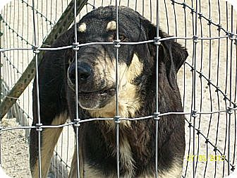 Shepherd (Unknown Type)/Labrador Retriever Mix Dog for adoption in Mexia, Texas - Captain. Morgan