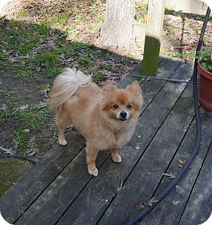 Pomeranian Dog for adoption in conroe, Texas - Honda