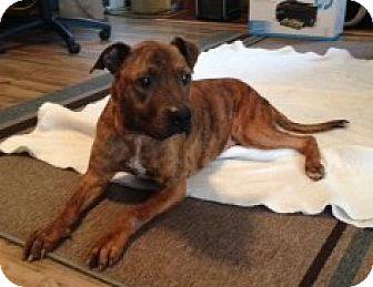 Plott Hound/Boxer Mix Dog for adoption in Hampton, Virginia - ANGEL