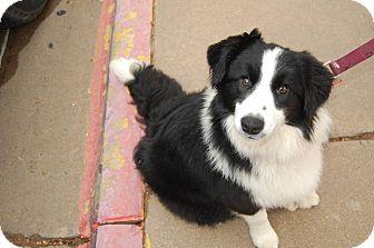 Australian Shepherd Mix Dog for adoption in Wichita Falls, Texas - Lady