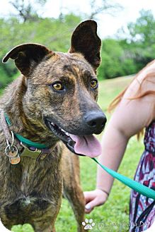 Catahoula Leopard Dog/Black Mouth Cur Mix Dog for adoption in Stillwater, Oklahoma - Ziva