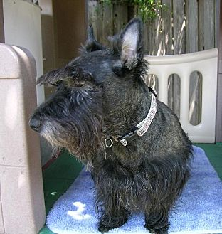 Scottie, Scottish Terrier Dog for adoption in Dallas, Texas - Ripkin
