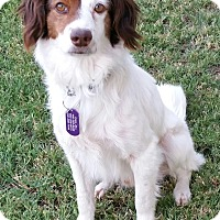 Adopt A Pet :: PATCHES - Phoenix, AZ