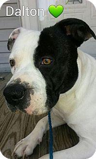 American Staffordshire Terrier/American Bulldog Mix Dog for adoption in Williamsburg, Virginia - DALTON