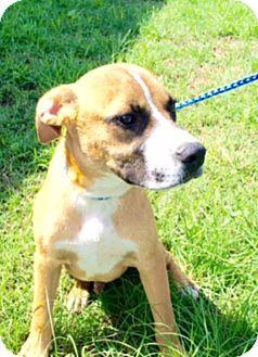 Boxer Mix Dog for adoption in Hatifeld, Pennsylvania - West
