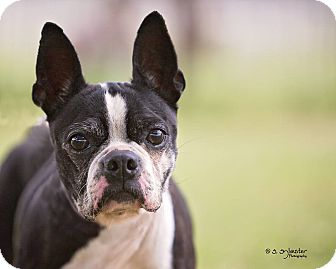 Boston Terrier Dog for adoption in Weatherford, Texas - JILLIAN