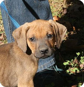 Hound (Unknown Type)/Boxer Mix Puppy for adoption in Windham, New Hampshire - Raj (POM-CR)