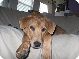 Golden Retriever Mix Puppy for adoption in Rockville, Maryland - Mazey