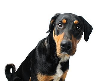 Rottweiler Mix Dog for adoption in Wilmington, Delaware - Napoleon