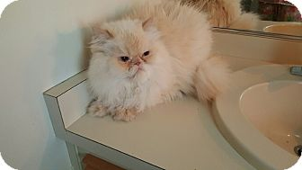 Persian Cat for adoption in Fort Myers, Florida - Harold