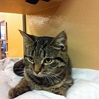 Domestic Shorthair Cat for adoption in Hartford City, Indiana - Devan
