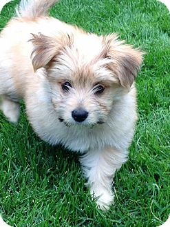 Maltese/Yorkie, Yorkshire Terrier Mix Puppy for adoption in Barriere, British Columbia - Honey