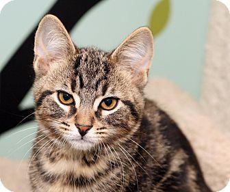 Domestic Shorthair Kitten for adoption in Royal Oak, Michigan - SERGEANT