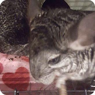 Chinchilla for adoption in Lindenhurst, New York - Nyla