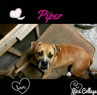 Boxer/American Bulldog Mix Dog for adoption in Dana Point, California - Piper