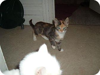 Calico Cat for adoption in Walnutport, Pennsylvania - Gidget