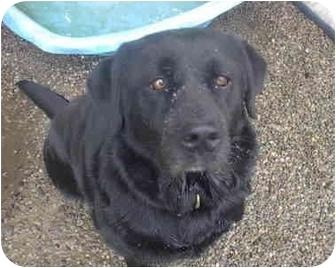 Labrador Retriever Mix Dog for adoption in Ortonville, Michigan - Miss Molly Lou