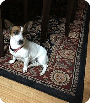 Jack Russell Terrier Dog for adoption in Hazard, Kentucky - Rosie
