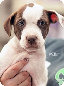 Pit Bull Terrier Mix Puppy for adoption in Gainesville, Florida - Fortitude