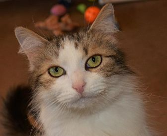 Domestic Longhair Cat for adoption in Cincinnati, Ohio - Paula II