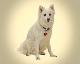 American Eskimo Dog Mix Dog for adoption in Detroit, Michigan - Arctic