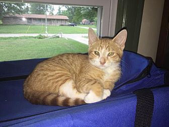 Domestic Shorthair Kitten for adoption in Sterling Heights, Michigan - Jim Beam