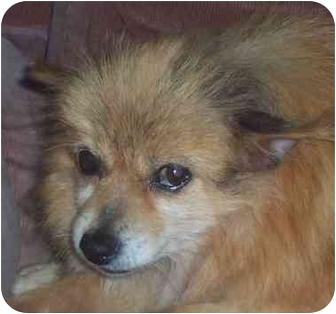 Pomeranian Dog for adoption in Eau Claire, Wisconsin - Madison