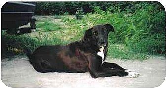 Labrador Retriever Dog for adoption in Longs, South Carolina - Mommie
