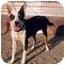 Photo 2 - Australian Kelpie Mix Dog for adoption in San Pedro, California - RAZZIE