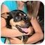 Photo 2 - Chihuahua/Corgi Mix Dog for adoption in Tumwater, Washington - Buster