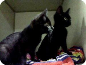 Domestic Shorthair Kitten for adoption in Kansas City, Missouri - Jake & Roxy Kittens